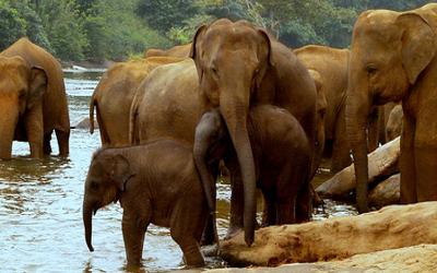pinnawala-elephant-1